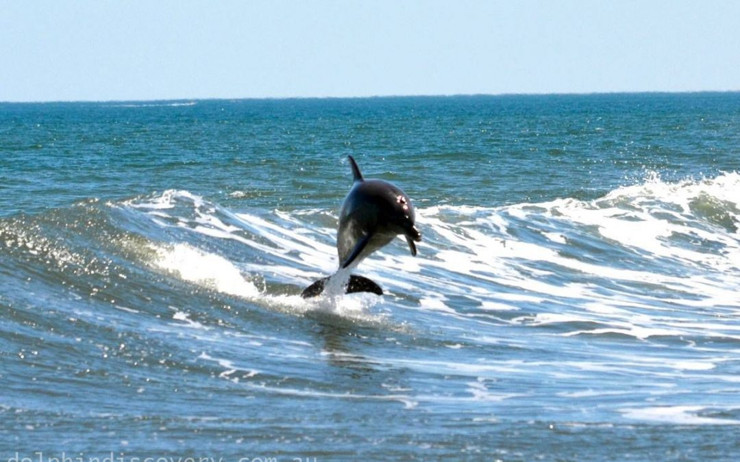 swimming-with-dolphins-Leaping-Dolphin