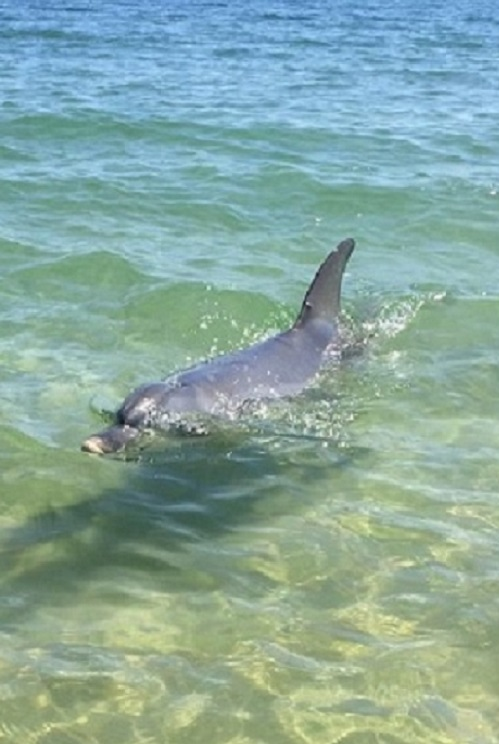 swimming-with-dolphins in the ocean